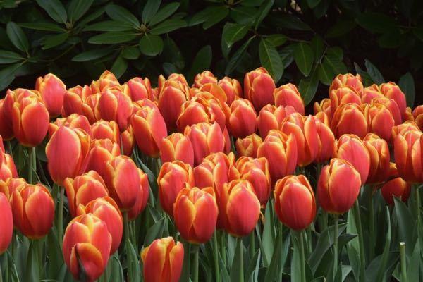 As flores ideais para cada divisão da sua casa - tulipas
