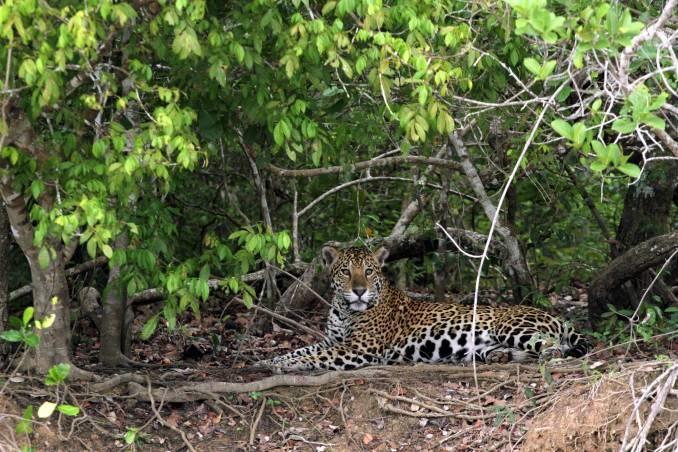 Observação de onças, no Pantanal Norte, no Mato Grosso (foto: Eduardo Vessoni)