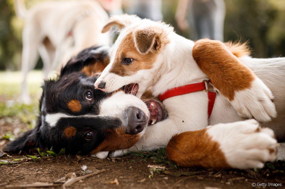 Comportamento canino: entenda os diferentes tipos de personalidade e aprenda a identificar o padrão do seu pet
